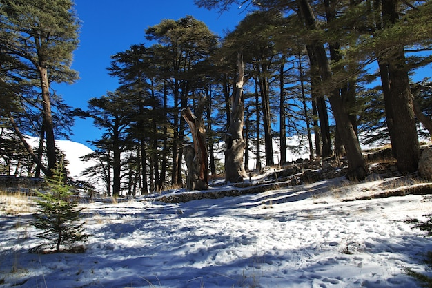 La foresta di cedri nelle montagne del libano