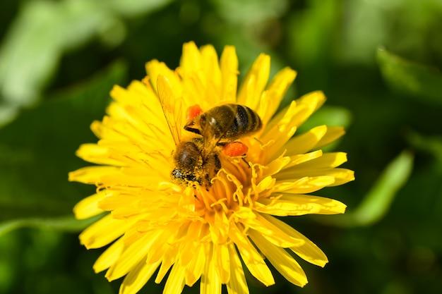 La foto a macroistruzione di un'ape raccoglie il nettare da un fiore giallo