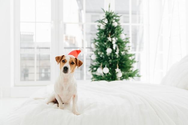 La foto del cane di razza bianco e marrone posa sul letto molle bianco in camera da letto, indossa il babbo natale rosso, vago con l'albero decorato