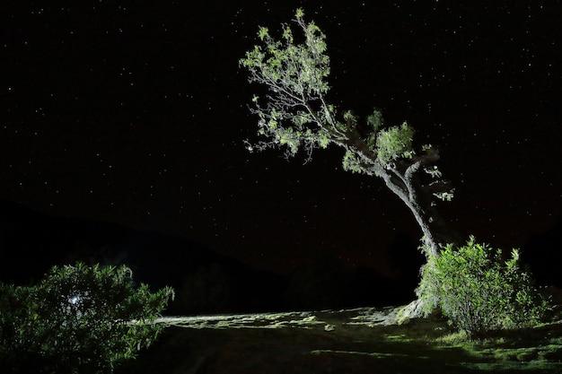 La fotografia notturna di un albero molle (schinus molle)