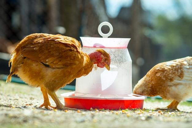 La gallina si nutre del tradizionale cortile rurale