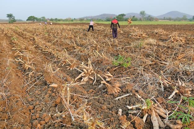 La gente sta raccogliendo manioca, tempo di vendemmia
