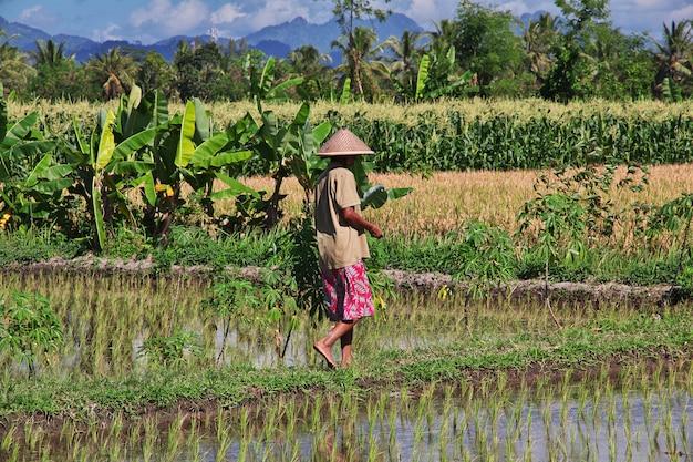 La gente sul giacimento del riso in villaggio dell'indonesia