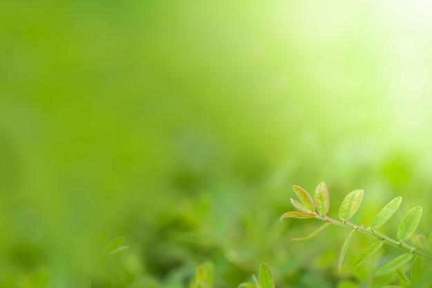 La giovane foglia è verde chiaro con fondo vago
