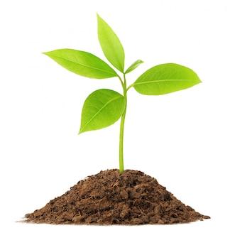 La giovane pianta verde cresce dal mucchio di terreno isolato su bianco