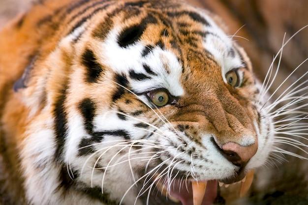 La giovane tigre ringhia in modo aggressivo
