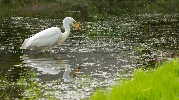 La grande egret ardea alba ardeidae, ha catturato un pesce.