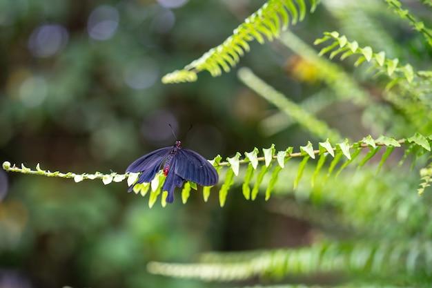 La grande farfalla mormone gialla