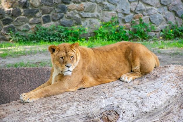 La graziosa leonessa vive in uno zoo pittoresco.