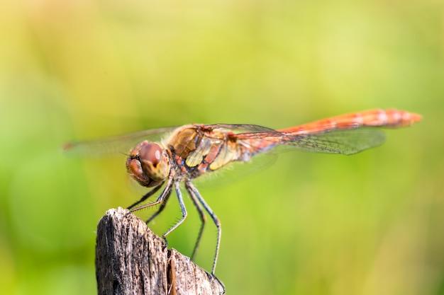 La libellula riposa su un ramo di albero secco