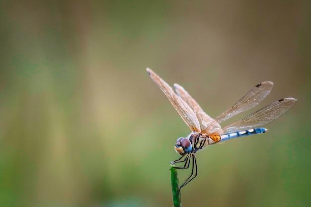 La libellula tiene sui rami asciutti e copia lo spazio. libellula nella natura. libellula nell'habitat naturale. bella scena della natura con la libellula all'aperto