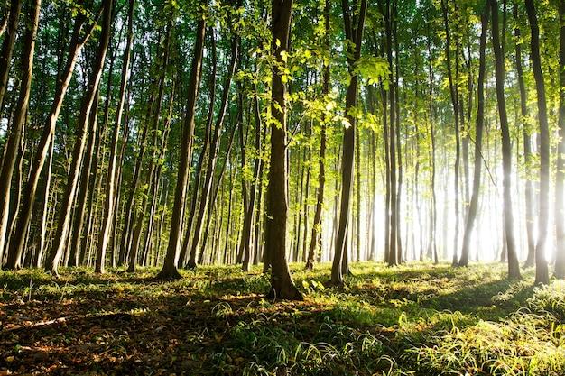 La luce mattutina del sole si fa strada attraverso la foresta