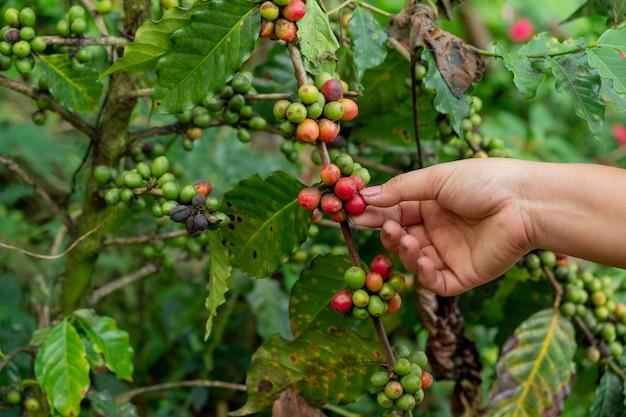 La mano che tiene il caffè fresco sulla pianta del caffè