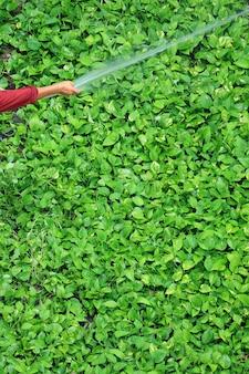 La mano del giardiniere che innaffia le piante di edera del diavolo verde brillante con un tubo flessibile