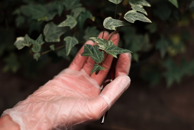 La mano del giardiniere in guanti tiene il ramo della pianta d'appartamento