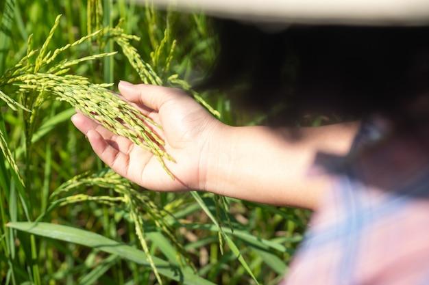 La mano dell'agricoltore che tiene una risaia nell'azienda agricola della tailandia.
