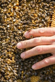 La mano dell'apicoltore sta lavorando con api e alveari sull'apiario. api sui favi. cornici di un alveare