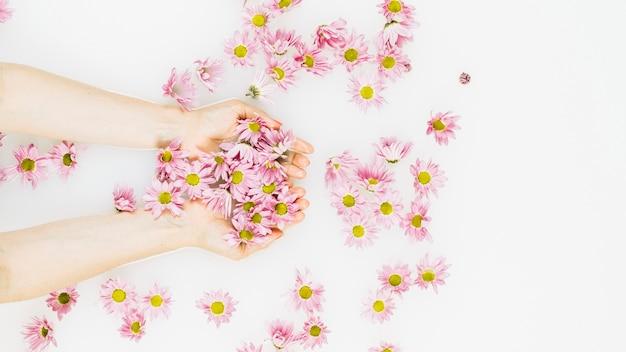 La mano della donna che tiene i bei fiori rosa