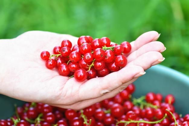 La mano della donna tiene un ribes rosso maturo sopra un secchio pieno di ribes rosso.