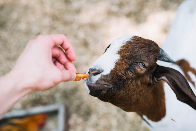 La mano di una persona che alimenta il cibo alla capra