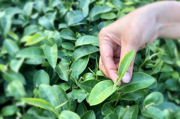 La mano femminile regge la parte superiore delle foglie di tè verdi pronte per il raccolto.