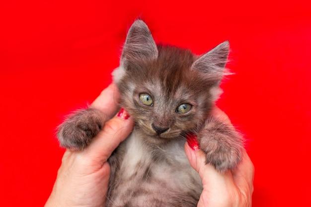 La mano femminile tiene un gattino grigio