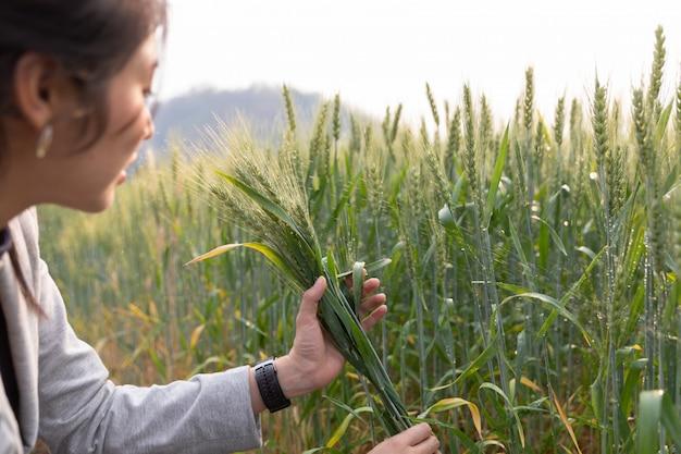 La mano femminile vince le spighe di grano