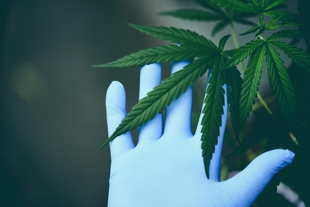 La mano tocchi la marijuana lascia l'albero della pianta della cannabis che cresce sul verde