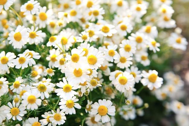 La margherita bianca della primavera fiorisce in natura alla luce solare. fiori di primavera