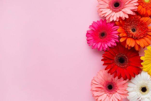 La margherita della gerbera fiorisce con il fondo rosa dello spazio della copia