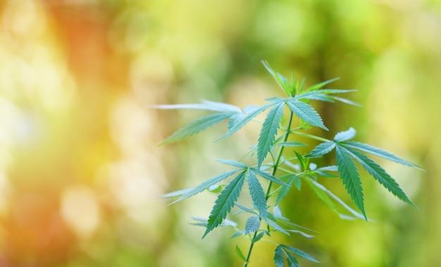 La marijuana lascia l'albero della pianta di cannabis che cresce sul fondo di verde della natura