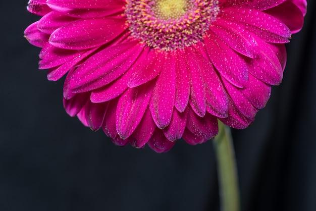La metà del fiore rosso della gerbera con le gocce di acqua si chiude su su fondo nero