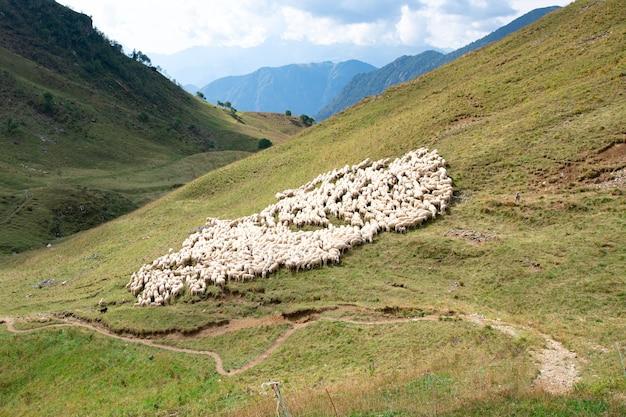 La moltitudine di pecore si avvicina alla traccia di montagna in valle italia di brembana