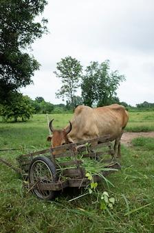 La mucca mangia cibo per erba