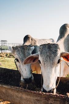 La mucca mangia il cibo