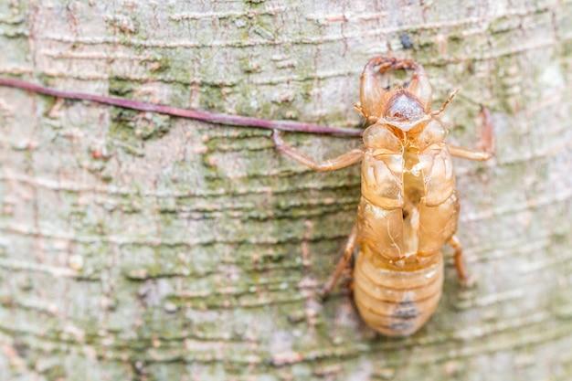 La muta dell'insetto, cicala muda sulla corteccia di albero, con fondo vago natura.