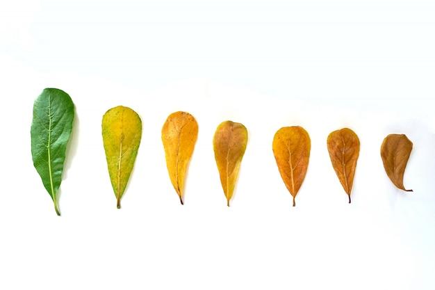 La natura lascia da verde a colore marrone nel fondo bianco