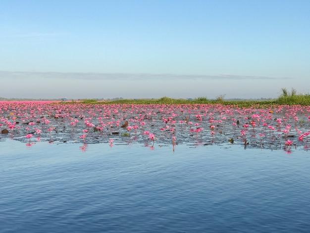 La ninfea rosa con i fiori porpora fiorisce sul fondo del lago