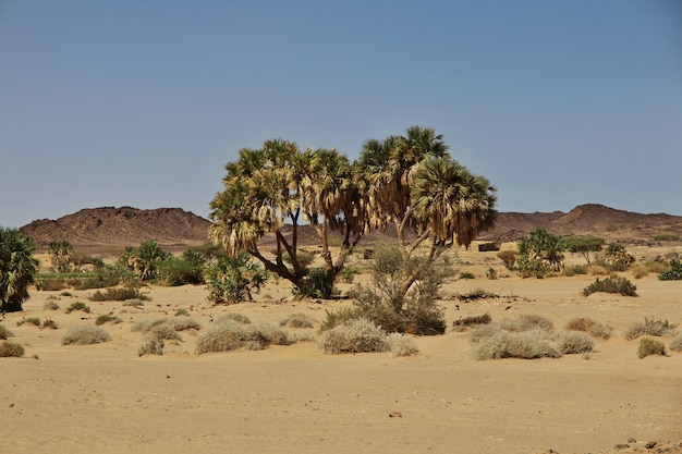 La palma di ghazali, sudan, africa