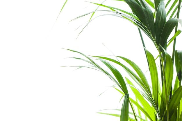 La palma di yallow (chrysalidocarpus lutescens.) lascia su fondo bianco con spazio per testo