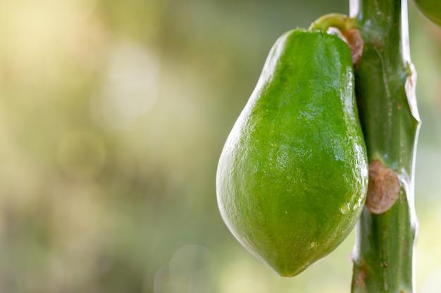 La papaia è bagnata con una goccia d'acqua sull'albero in fattoria biologica e la luce del mattino.
