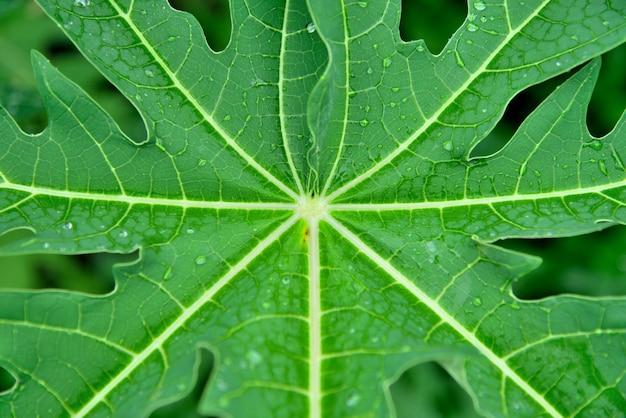 La papaia lascia il fondo verde della natura.