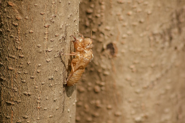 La pelle della cicala è sull'albero.