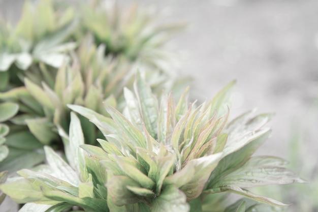 La peonia lascia verde con gocce dalla pioggia