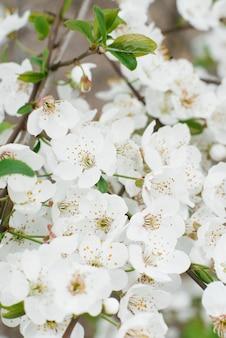 La pera bianca fiorisce il giardino del primo piano in primavera. messa a fuoco selettiva. fioritura primaverile
