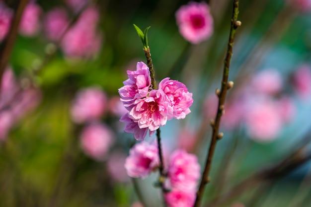 La pesca fiorisce in giardino a hanoi, vietnam. fiore di pesca, il simbolo del nuovo anno lunare vietnamita