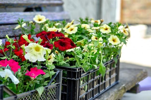 La petunia fiorisce nel centro di giardino nero delle casse di plastica.