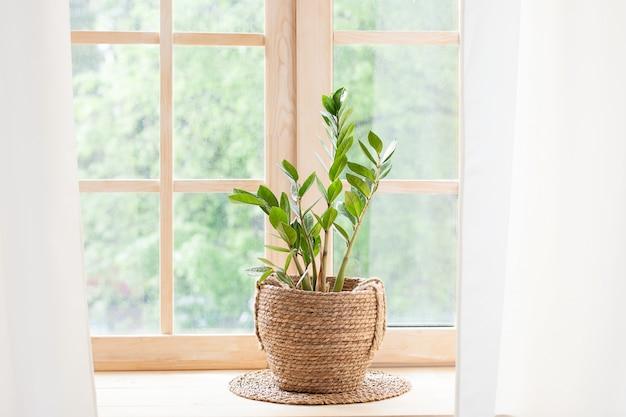 La pianta domestica di zamioculcas in vaso di paglia si leva in piedi su un davanzale. piante domestiche sul davanzale della finestra. concetto di giardinaggio domestico. zamioculcas in vaso di fiori sul davanzale di casa. scandinavo. spazio per il testo