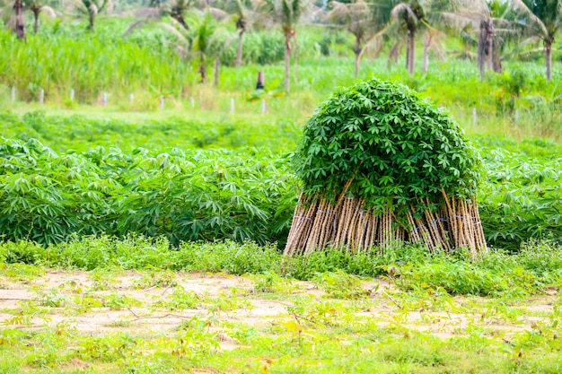 La piantagione di coltivazione della manioca che coltiva fila la manioca in azienda agricola