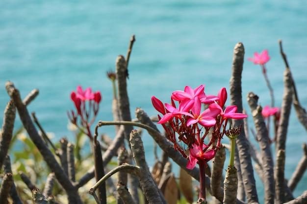 La plumeria rosa fiorisce sull'albero con le foglie verdi ed il bello mare nell'ora legale.